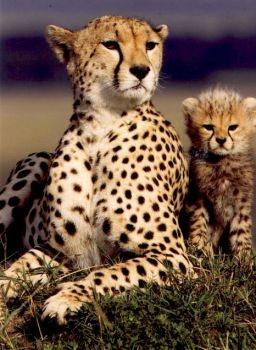 Love cheetahs!