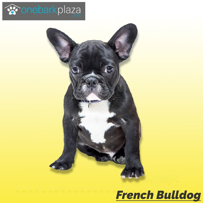 Visit Www Onebarkplaza Com To Buy French Bulldog Sourced From