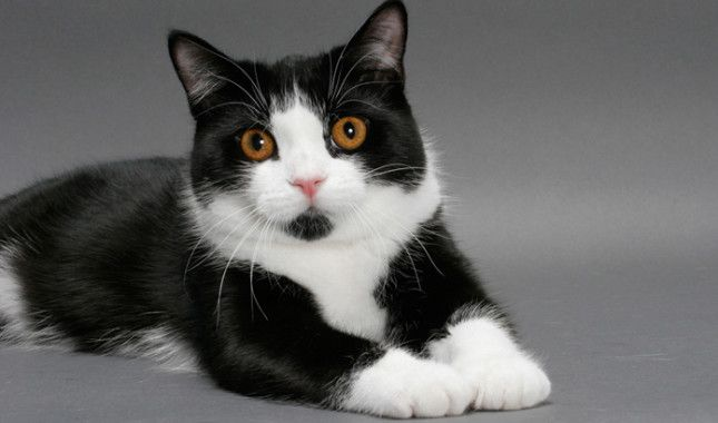 Black And White Manx Cat Breeds Manx Cat Cats