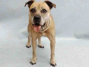 SUPER URGENT *SENIOR* KIARA – A1115129 FEMALE, BROWN, AM PIT BULL TER MIX, 9 yrs STRAY – STRAY WAIT, NO HOLD Reason STRAY Intake condition EXAM REQ Intake Date 06/12/2017, From NY 10468, DueOut Date 06/15/2017,