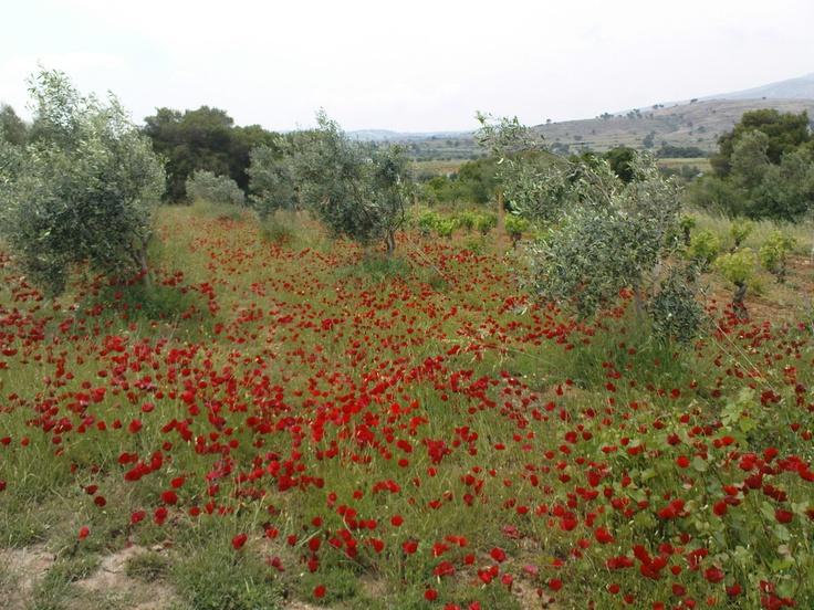 Poppies, Rafina, Greece