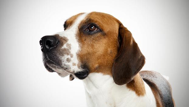 English foxhound | Love me some Foxhounds! | Pinterest
