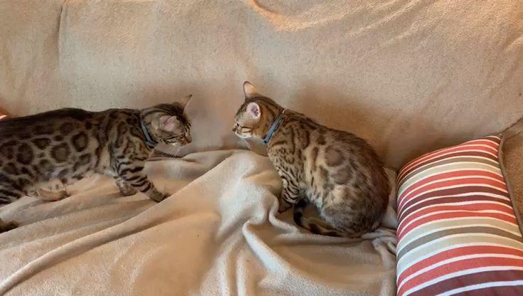 Bengals whos kitten is it video bengal cat bengal