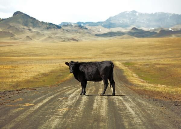 Black Angus cow on the road