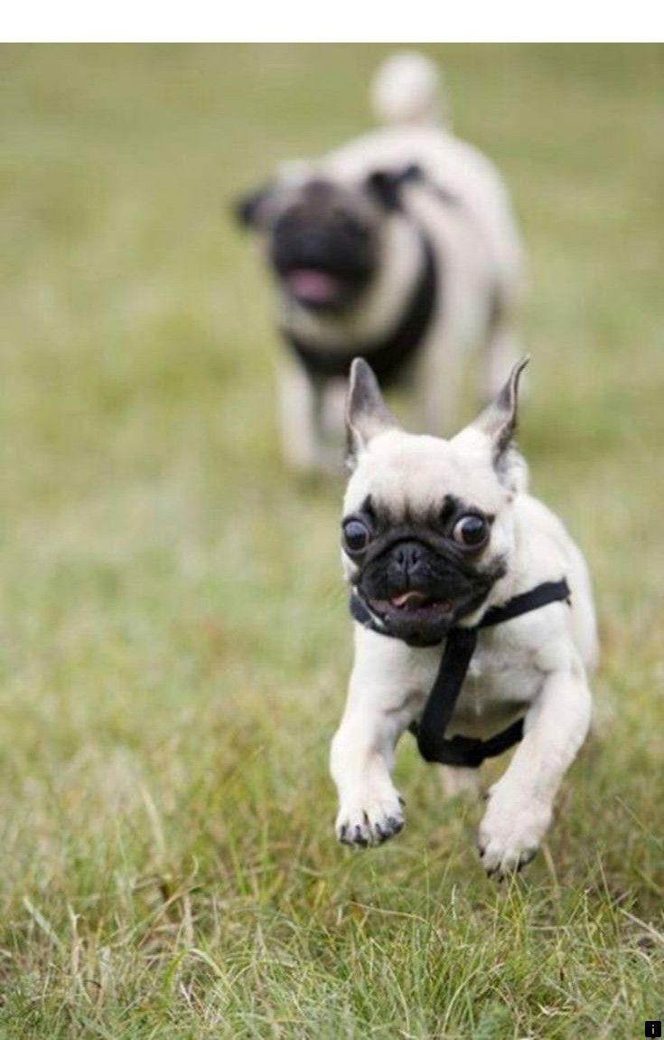 Check Out The Webpage To Read More On Black Pug Puppies For
