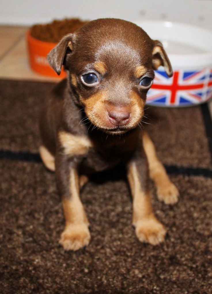 brown min pin | Chocolate Min Pin Boy For Sale | dogs and ...