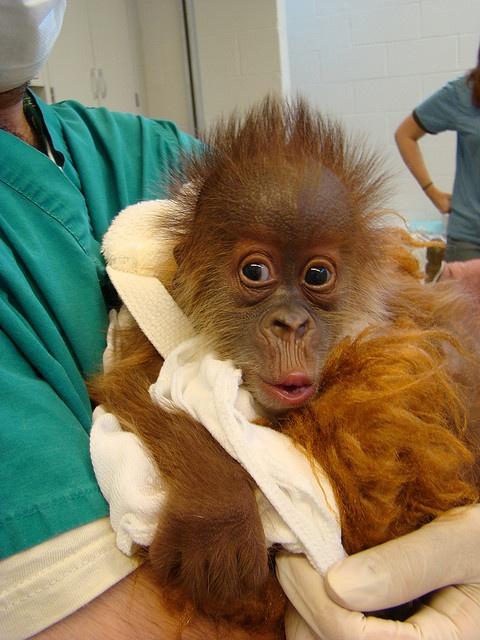 Menari, Sumatran Orangutan by audubonimages, via Flickr