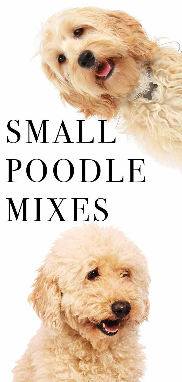 Small Poodle Mixes Top Ten Cute Curly Cross Breeds Poodle Mix