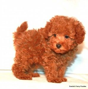 Red toy poodle. Adorbs.