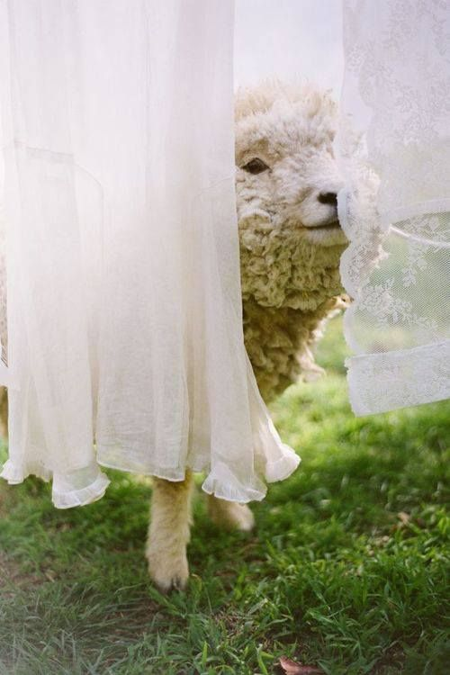 A sheep peeking through the laundry