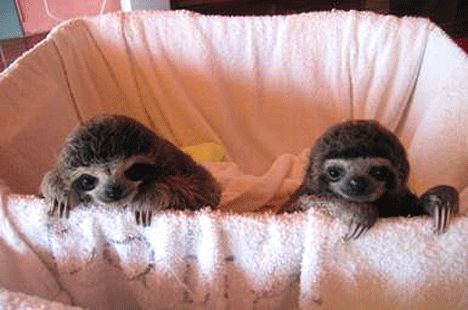 Adorable sloth babies, I just want to kiss these guys...