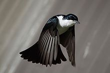Black bird with white chest  in flight with wings facing down and tail fanned and down pointing
