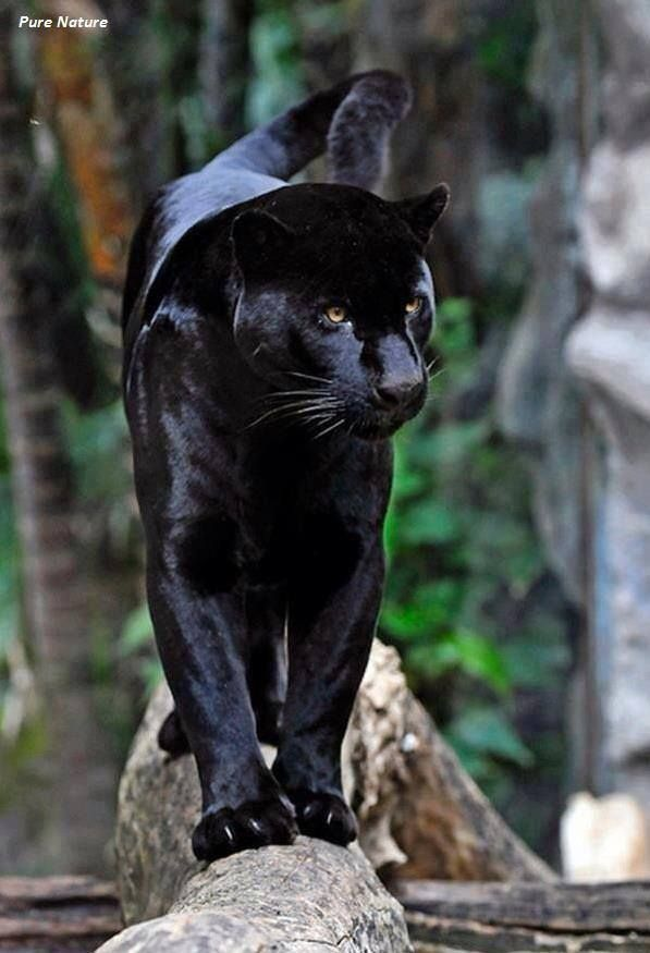 Quot Stunning Beauty Quot Wild Book Black Panther Amazing