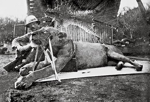 The first lion killed by Patterson, now known as FMNH 23970. Wikipedia/Public Domain
