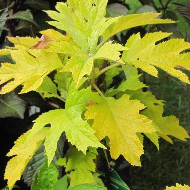 L'Hydrangea quercifolia Little Honey, baptisé hortensia à feuilles de chêne, est une variété dotée d'un sublime feuillage jaune doré, prenant des teintes rouge orangé en automne, accompagné de grandes panicules de fleurs retombantes blanches en fin d'été. Cette jolie variété forme un buisson plus large que haut de 1,50m de hauteur pour 2m de largeur. Il porte avec beaucoup d'élégance un feuillage caduc, très lumineux, jaune intense au débourrement, prenant des teintes vert anis en été et…