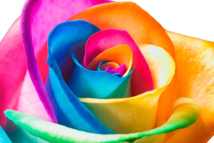 Scopriamo insieme  Le Rose Arcobaleno!