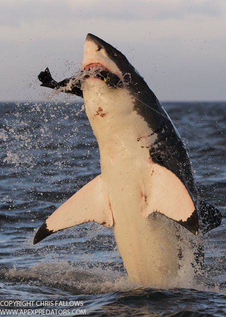 Wow! I wonder who was in the right place at the right time to snap this amazing photo . Animal photography . Great White Shark breaches in South African waters