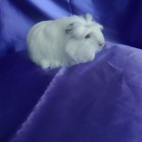 0102 - Guinea Pig Coronet Safkan  Ücretli Sahiplendirilecek Yavrumuz. Ayrıntılar www.guineapigcim.com