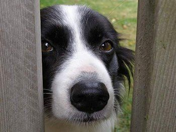 Wynne, the 7 year old Border Collie