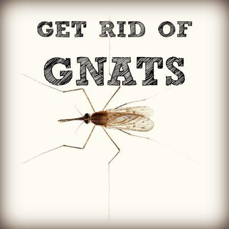 Finding a swarm of tiny black insects in your kitchen, or batting them away as you're watching TV, can make anyone wonder how to get rid of gnats in home settings. While most gnats aren't harmful, they're irritating and give the impression of a dirty house even when it's not. Here's how to get rid of gnats in homes without filling the air with toxic sprays. How To Get Rid Of Gnats In Homes What are gnats? People use 'gnat' to refer to a variety of small, flying ins...