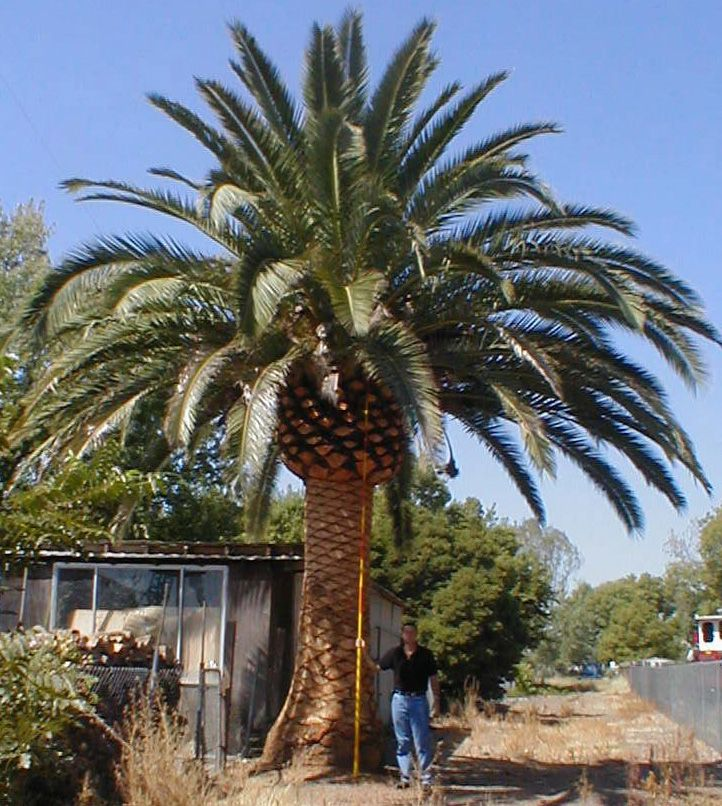 Palm Tree Island: 69 Best Images About PalmTrees Buy Big Date Palms And
