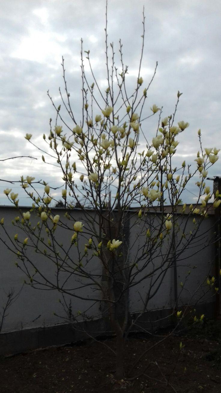 Magnolia april 2017