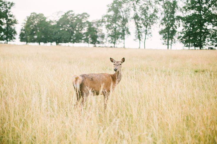 Deer in a field, wedding in France