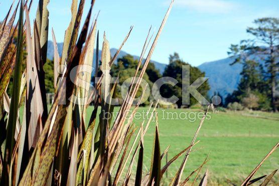 Rural Scene with Harakeke (New Zealand Flax) royalty-free stock photo