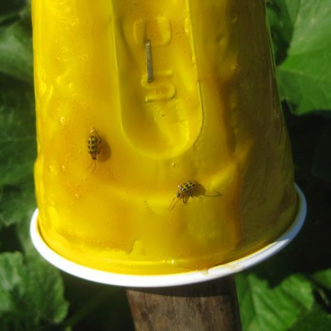 Yellow can attract (and therefore trap) two of the worst gardening pests, the destructive cucumber beetle and the dreaded squash vine borer.