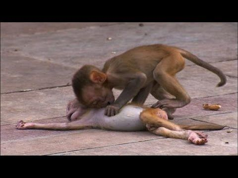 11 best a monkey story images on pinterest funny animal funny monkey troop mourns loss of baby made me tear up knowing that even animals go thru hard times and show emotion fandeluxe Gallery