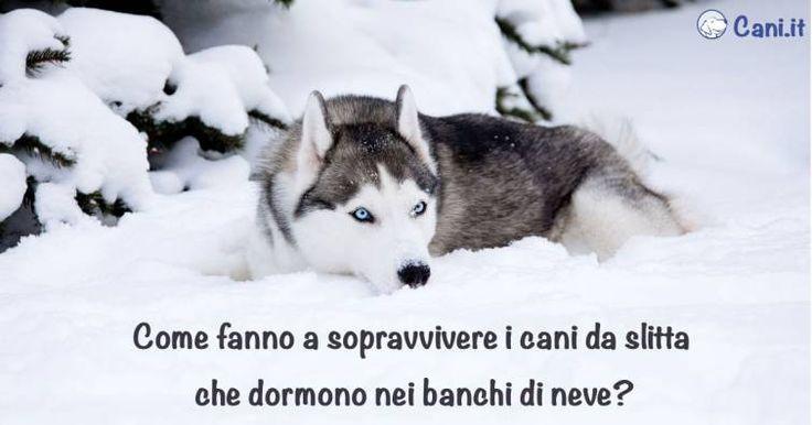 Come sopravvivono i cani da slitta che dormono nei banchi di neve?
