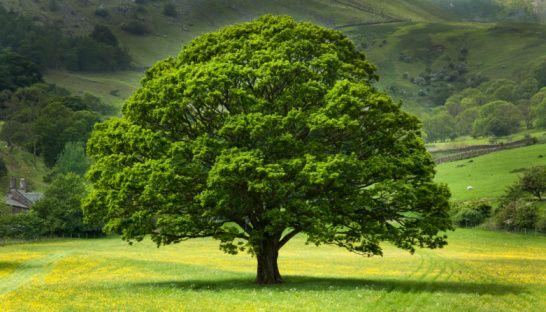 English Oak Tree in field of Buttercups