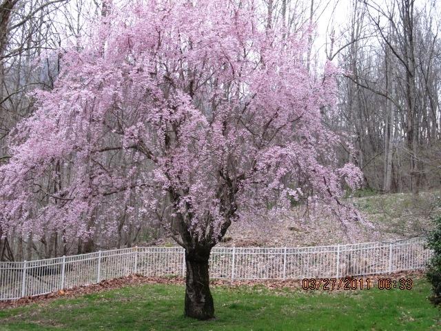 Weeping Cherry/Barnardsville, NC