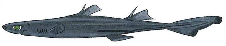African Lantern Sharks image via wikipedia
