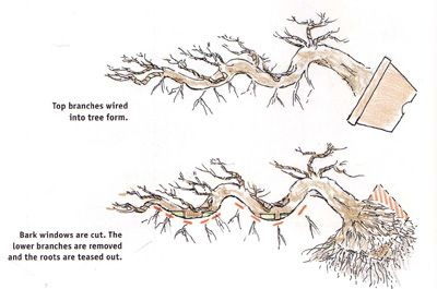 bonsai styles guide | The early steps: top to bottom. Notice how the upper limbs are wired ...