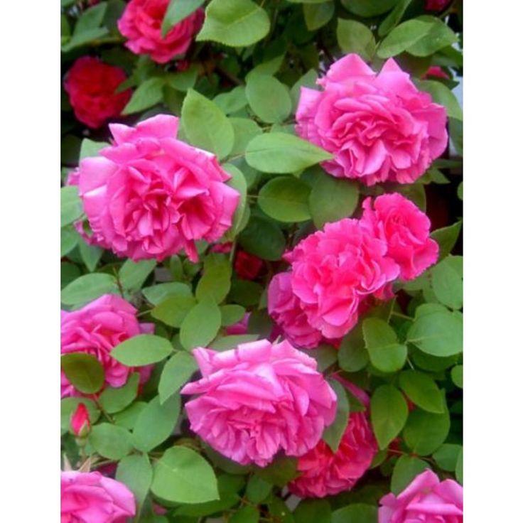 Klimrozen 15 cm (Rosa 'Zephirine Drouhin')