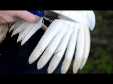 Kippen houden - Hoe kippen kortwieken? - YouTube