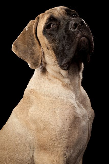 English Mastiff, (looks like an American Mastiff to me) referred to by most Kennel Clubs simply as the Mastiff, is a breed of large dog perhaps descended from the ancient Alaunt and Pugnaces Britanniae, with a significant input from the Alpine Mastiff in the 19th century. Distinguishable by enormous size, massive head, and a limited range of colours, but always displaying a black mask,   Peter Kemmer, photographer