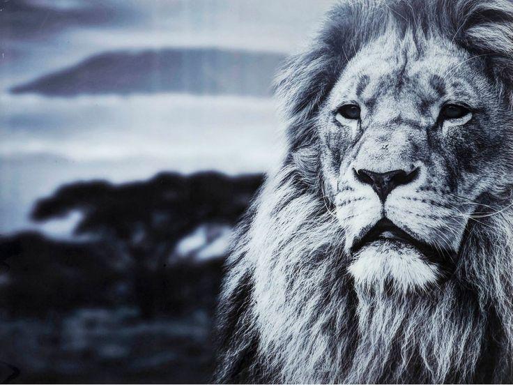 Obraz Savanne — Obrazy — KARE® Design #KARE #DESIGN #modern #furniture #ILOVEKARE #KARE24 #picture #lion #grey