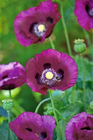 Image result for poppies and phlox