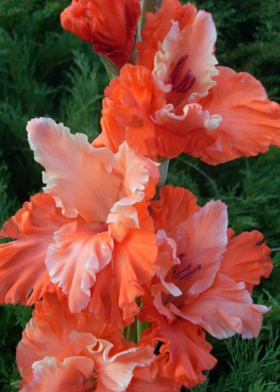 Gladiolus - such rich colors of orange and coral!