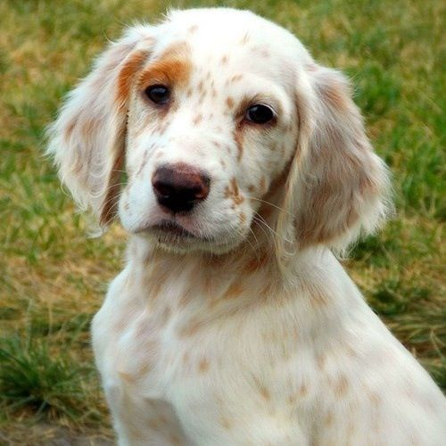 "Click visit site and Check out Best ""English Setter"" T-shirts. This website is outstanding. Tip: You can search ""your name"" or ""your favorite shirts"" at search bar on the top."