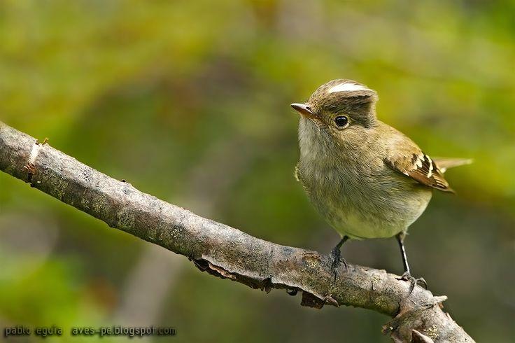 mis fotos de aves: Fiofío silbón [Elaenia albiceps] White-crested ela...