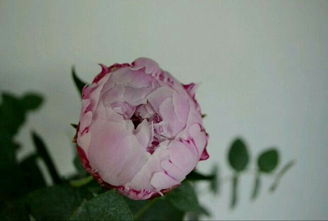 Peony  #peony #peonies #flowers #bouquet #poppel #eucalyptus