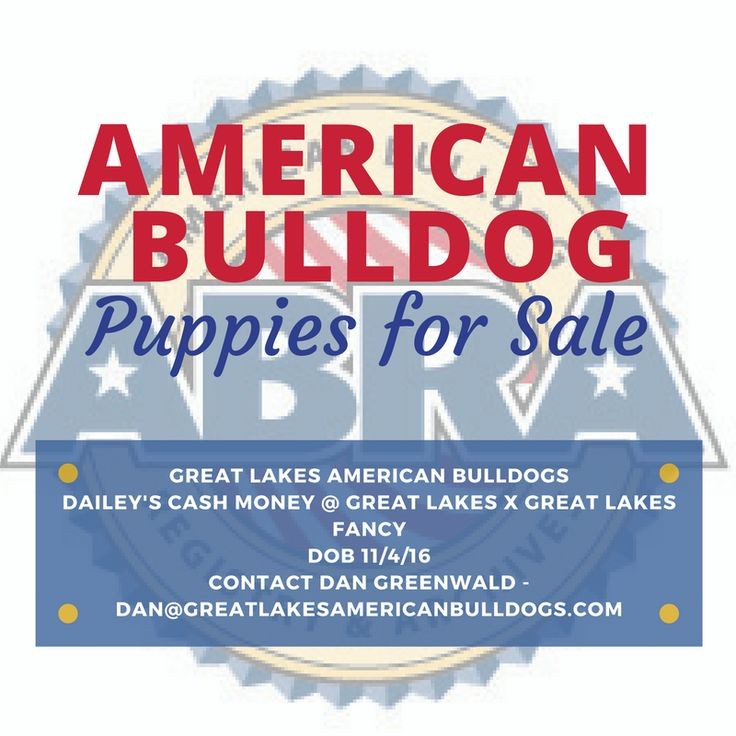 Great Lakes American Bulldogs, ABRA registered puppies for sale