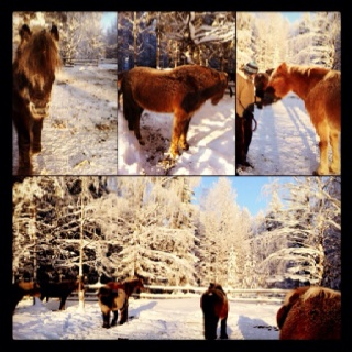 Meet and greet finnish breed horses with long fur. And maybe ride them too.