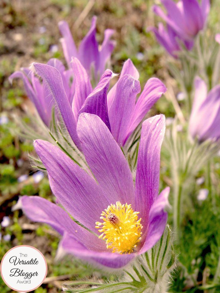 Anemone pulsatilla (Gewöhnliche Kuhschelle)    Die fünf besten Gartengestaltungsblogs  Meine Leidenschaft ist Gartengestaltung. Ich suchte nach Gartengestaltungsblogs und wurde fündig. Nachfolgend die besten 5 Gartengestaltungsblogs die ich gefunden habe. Auf meinem Blog findest du alles über Gartenreisen in England, Gartengestaltung und Gartenpflanzen.