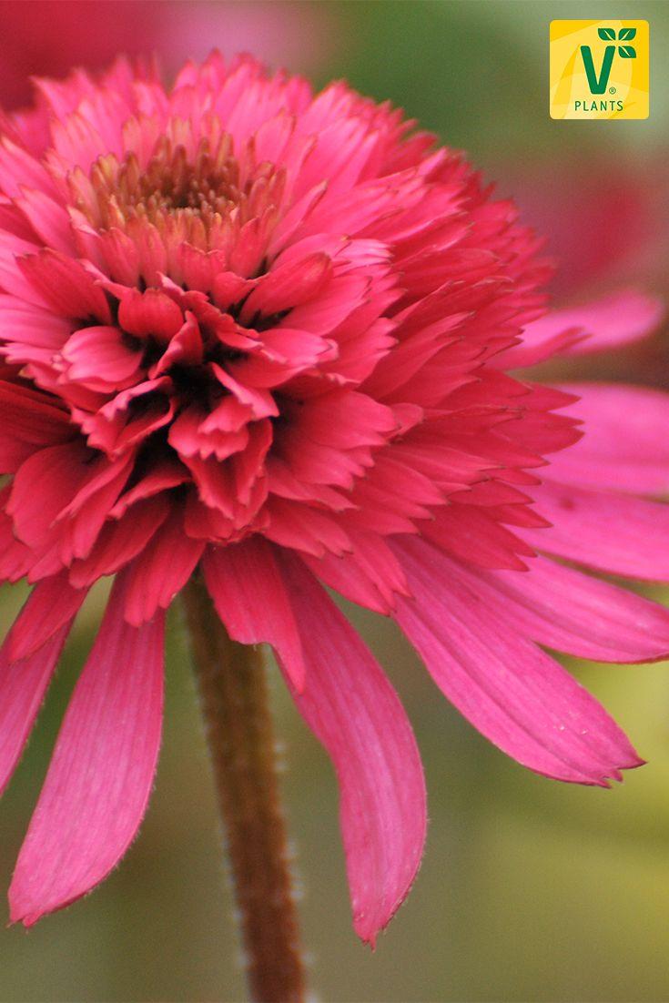 Der Sonnenhut (Echinacea) 'Southern Belle®'. Kräftige, rosa Blütenblätter mit gefüllter Blüte in der Mitte. Solche Blüten sieht man nicht in jedem Garten.... ;-) Hier geht's zur Infoseite!