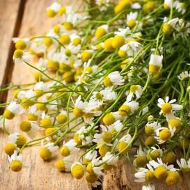 """Roman Chamomile Seeds - Roman Chamomile Seed  Roman Chamomile seeds can be planted indoors or outdoors in full sun to partial shade.The flowers of the Roman Chamomile plant are daisy-like and very attractive as an ornamental herb and groundcover.This delicate herb is often used in potpourri, teas, and cosmetics.  Perennial 12""""tall"""