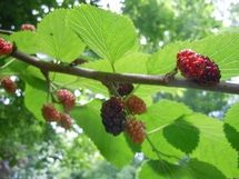 Mulberries ripen in late spring